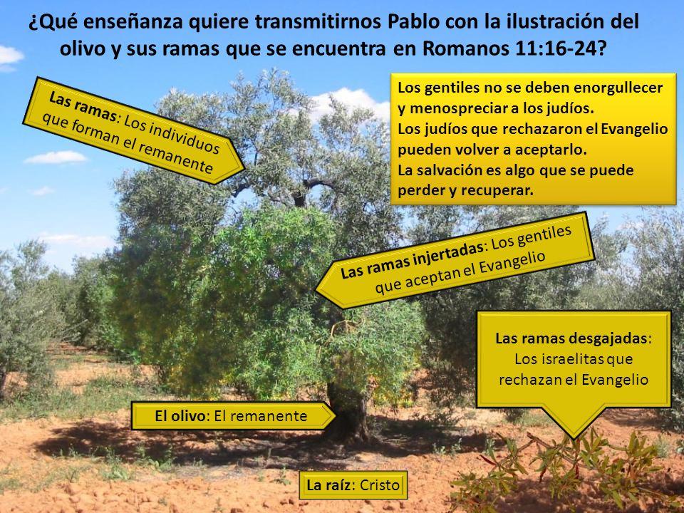 ¿Qué enseñanza quiere transmitirnos Pablo con la ilustración del olivo y sus ramas que se encuentra en Romanos 11:16-24