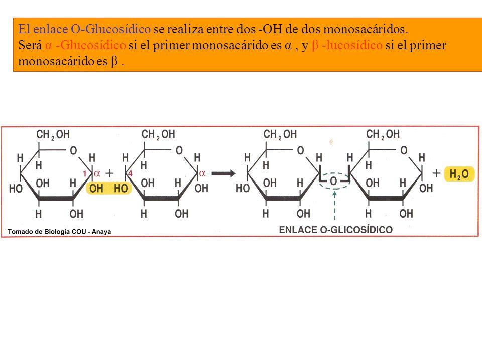 El enlace O-Glucosídico se realiza entre dos -OH de dos monosacáridos.