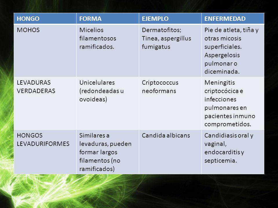 HONGO FORMA. EJEMPLO. ENFERMEDAD. MOHOS. Micelios filamentosos ramificados. Dermatofitos; Tinea, aspergillus fumigatus.