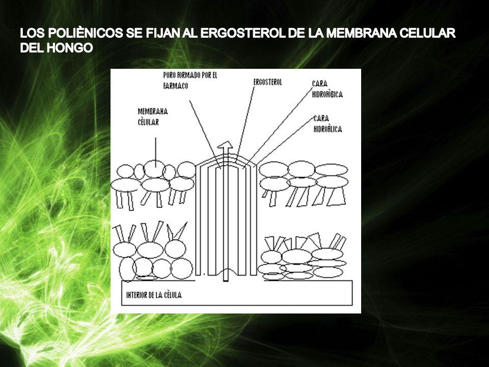 LOS POLIÈNICOS SE FIJAN AL ERGOSTEROL DE LA MEMBRANA CELULAR DEL HONGO