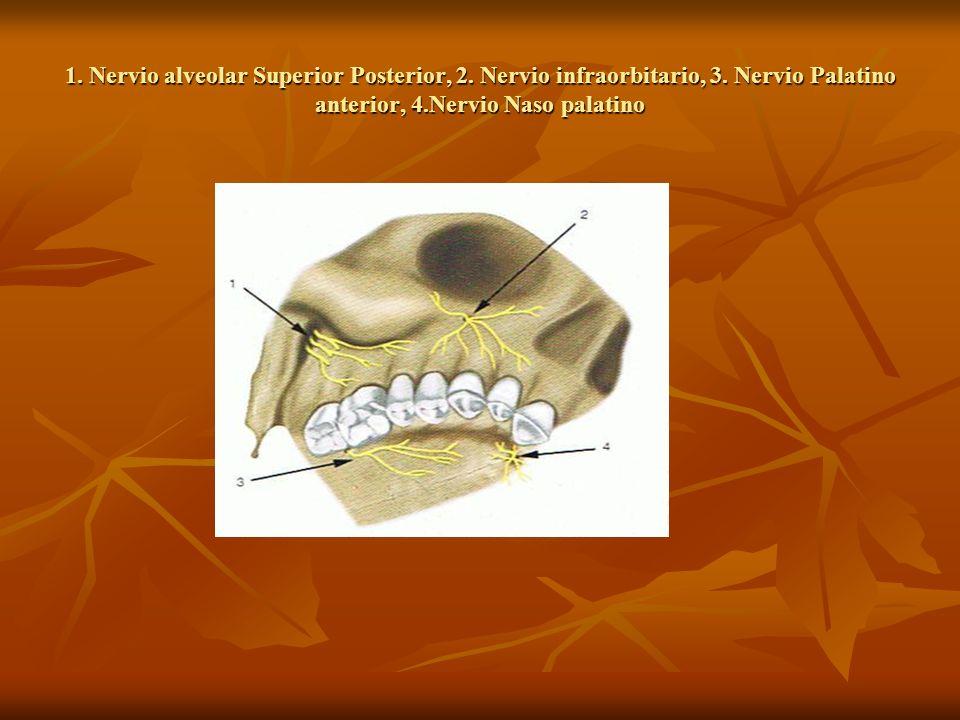 1. Nervio alveolar Superior Posterior, 2. Nervio infraorbitario, 3