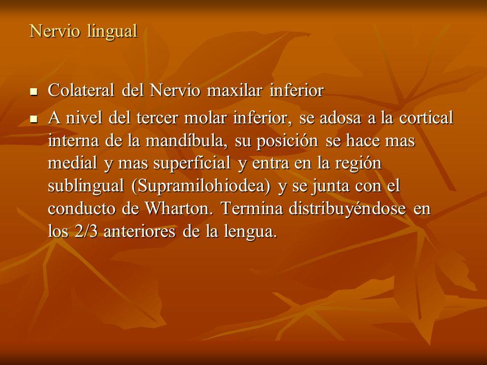 Nervio lingual Colateral del Nervio maxilar inferior.