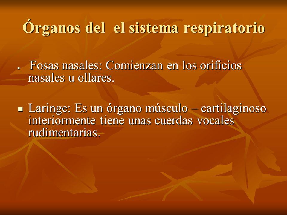 Órganos del el sistema respiratorio