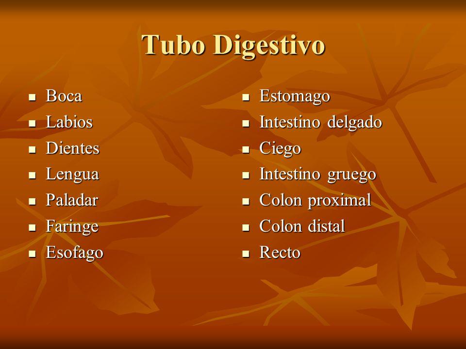 Tubo Digestivo Boca Labios Dientes Lengua Paladar Faringe Esofago
