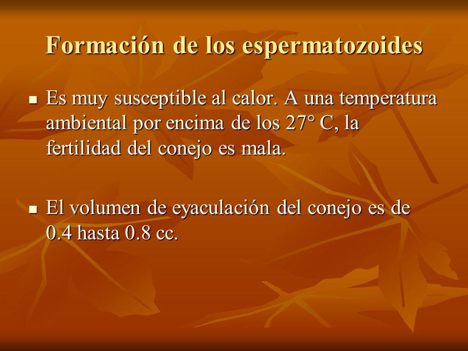 Formación de los espermatozoides