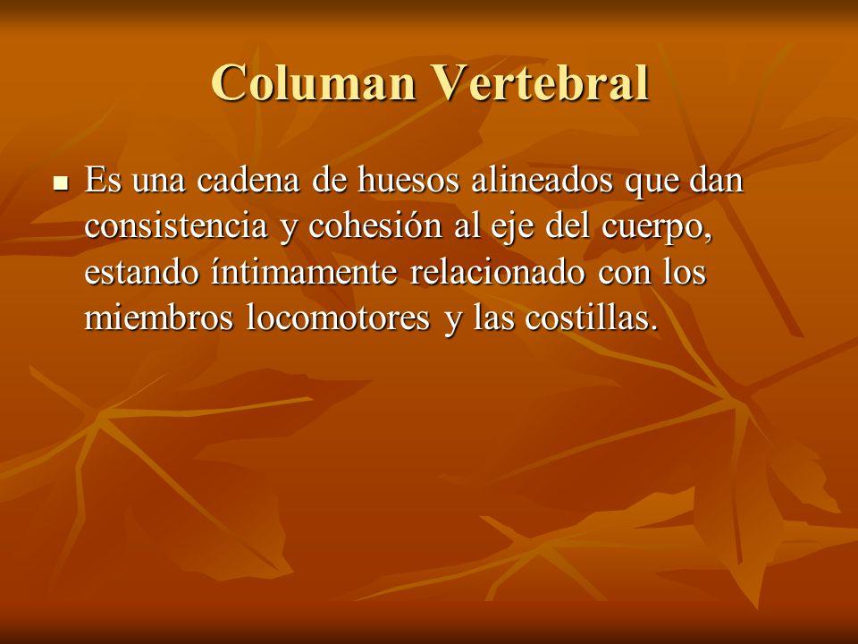 Columan Vertebral