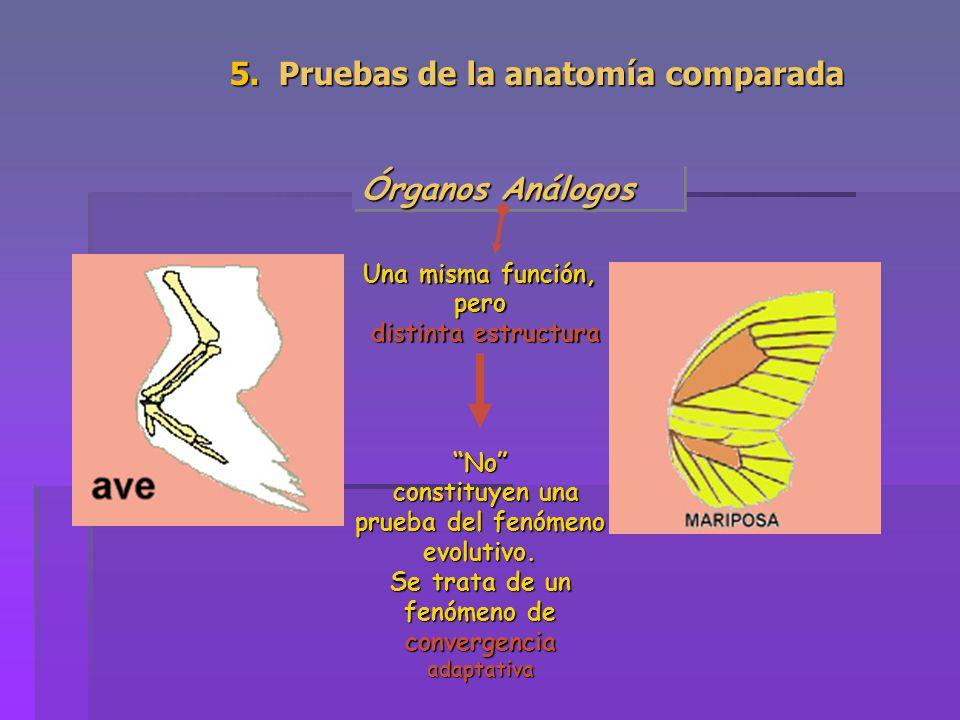 5. Pruebas de la anatomía comparada