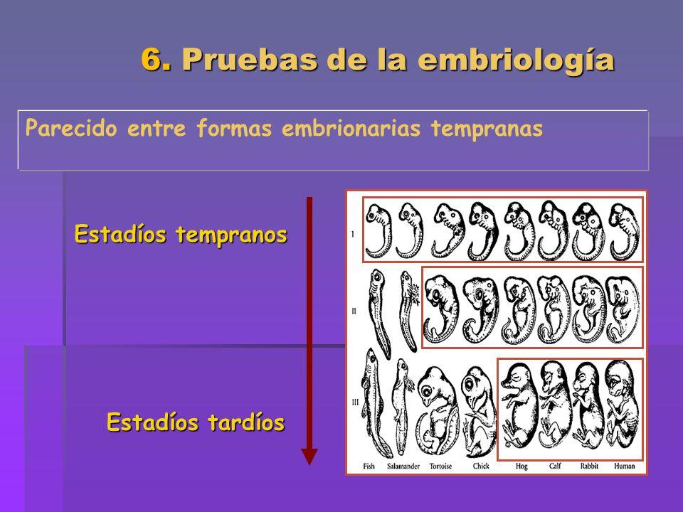 6. Pruebas de la embriología