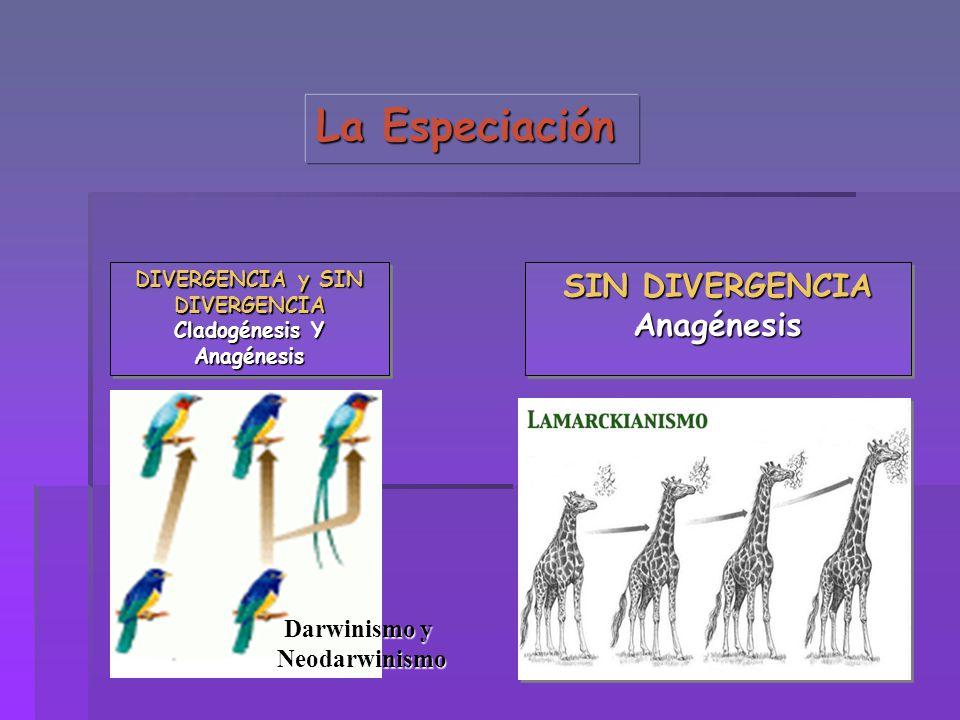 DIVERGENCIA y SIN DIVERGENCIA Cladogénesis Y Anagénesis