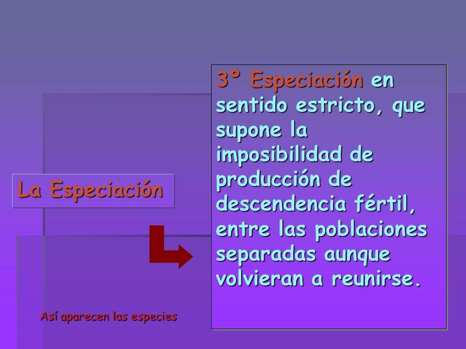 3º Especiación en sentido estricto, que supone la imposibilidad de producción de descendencia fértil, entre las poblaciones separadas aunque volvieran a reunirse.
