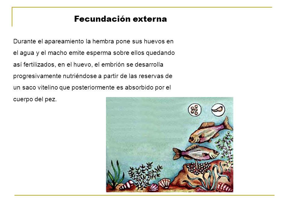 Fecundación externa Durante el apareamiento la hembra pone sus huevos en. el agua y el macho emite esperma sobre ellos quedando.