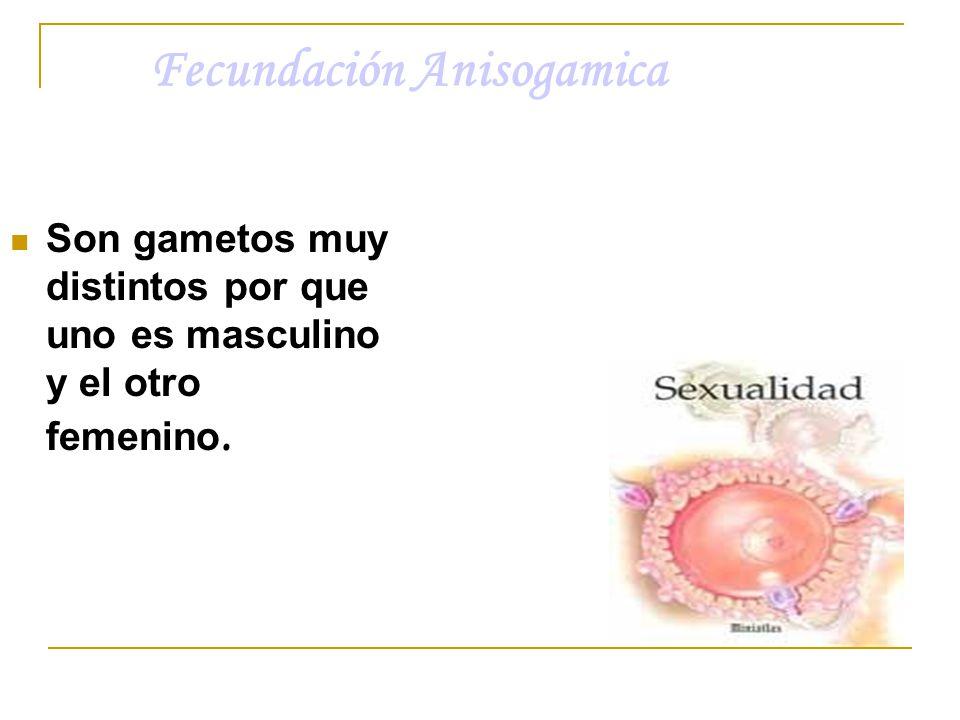Fecundación Anisogamica