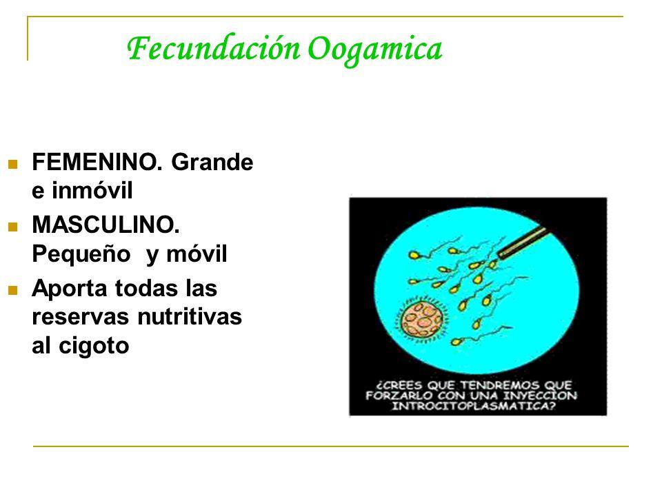 Fecundación Oogamica FEMENINO. Grande e inmóvil