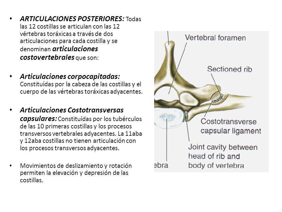 ARTICULACIONES POSTERIORES: Todas las 12 costillas se articulan con las 12 vértebras toráxicas a través de dos articulaciones para cada costilla y se denominan articulaciones costovertebrales que son:
