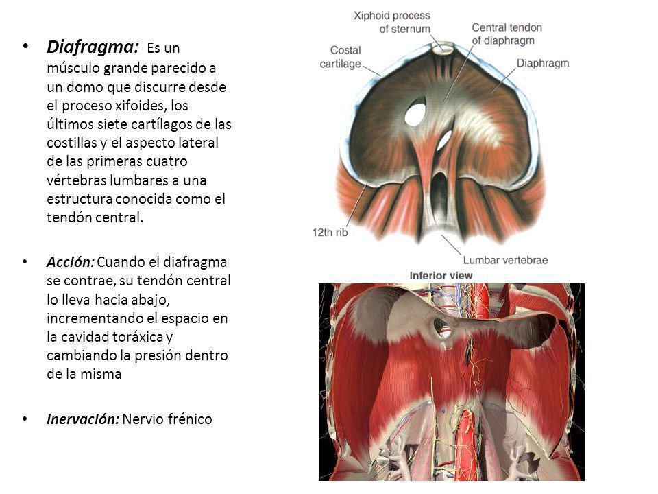 Diafragma: Es un músculo grande parecido a un domo que discurre desde el proceso xifoides, los últimos siete cartílagos de las costillas y el aspecto lateral de las primeras cuatro vértebras lumbares a una estructura conocida como el tendón central.
