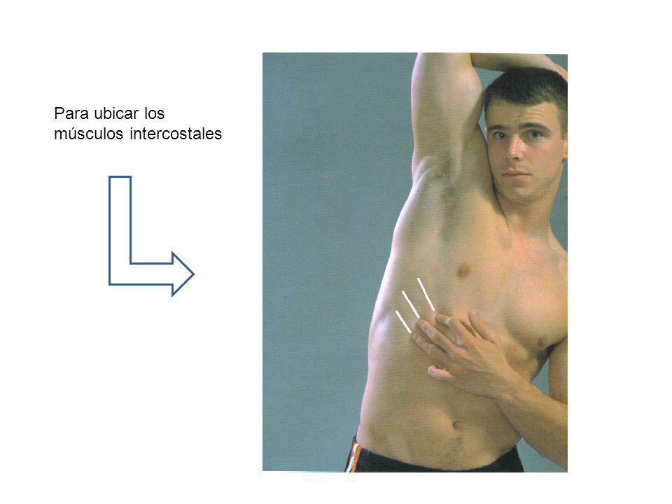 Para ubicar los músculos intercostales