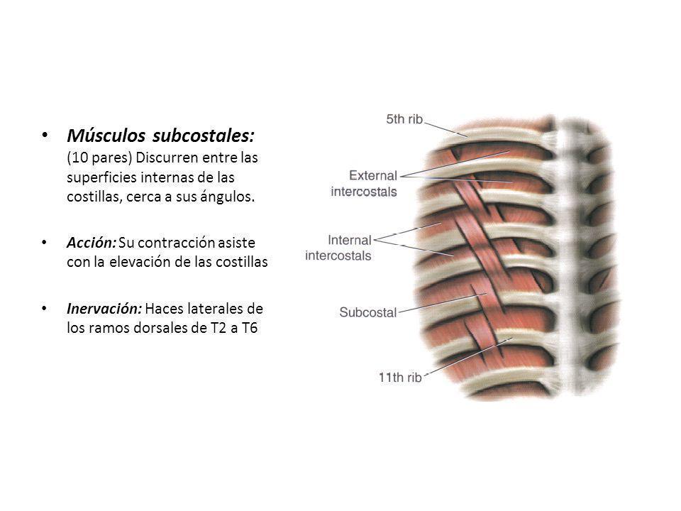 Músculos subcostales: (10 pares) Discurren entre las superficies internas de las costillas, cerca a sus ángulos.
