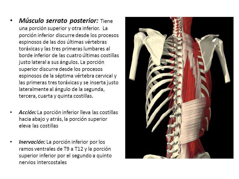 Moderno Proceso De Xifoides Inspiración - Imágenes de Anatomía ...
