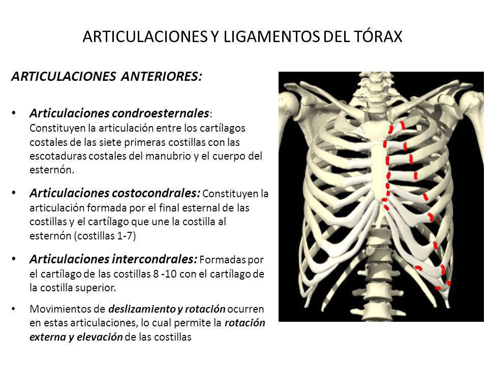 ARTICULACIONES Y LIGAMENTOS DEL TÓRAX