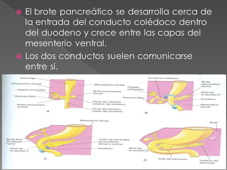 El brote pancreático se desarrolla cerca de la entrada del conducto colédoco dentro del duodeno y crece entre las capas del mesenterio ventral.
