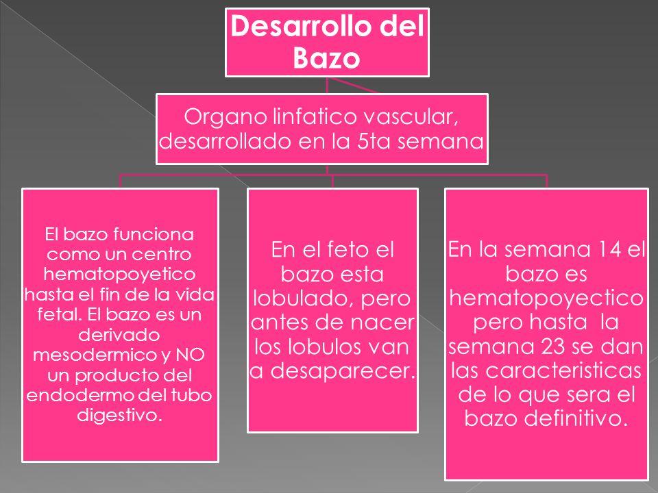 Organo linfatico vascular, desarrollado en la 5ta semana