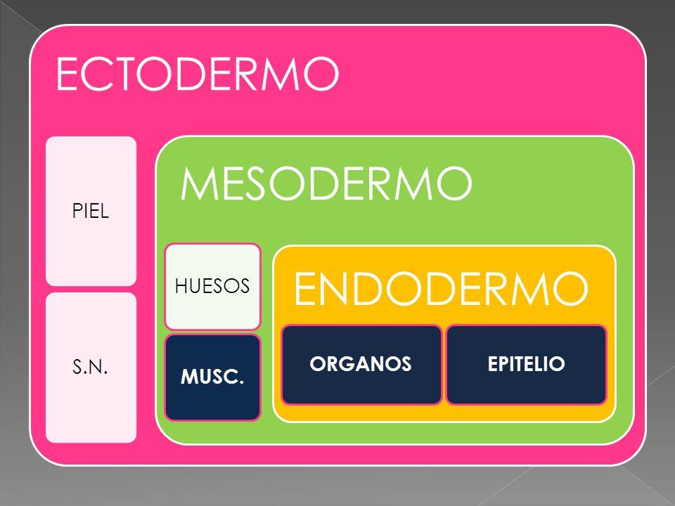 ECTODERMO PIEL S.N. MESODERMO HUESOS MUSC. ENDODERMO ORGANOS EPITELIO