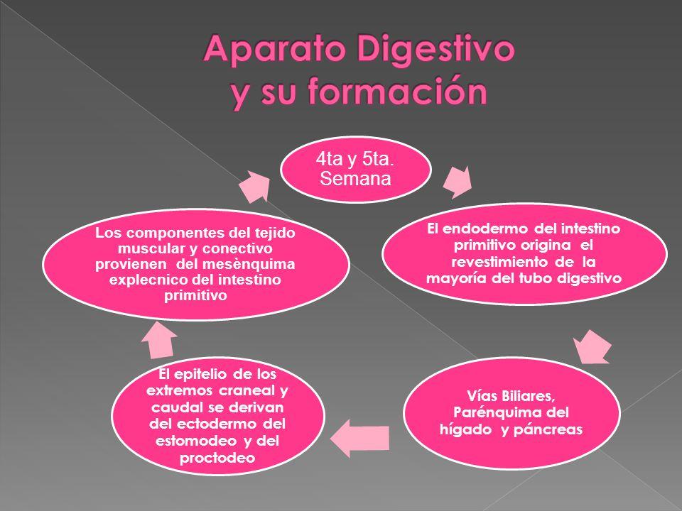 Aparato Digestivo y su formación