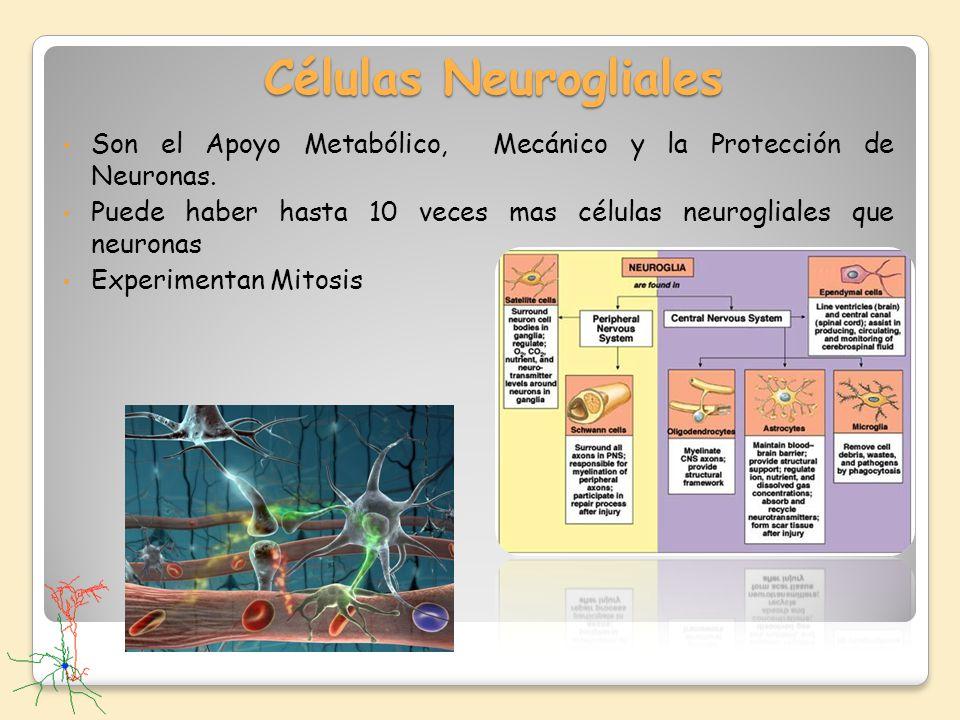 Células Neurogliales Son el Apoyo Metabólico, Mecánico y la Protección de Neuronas.