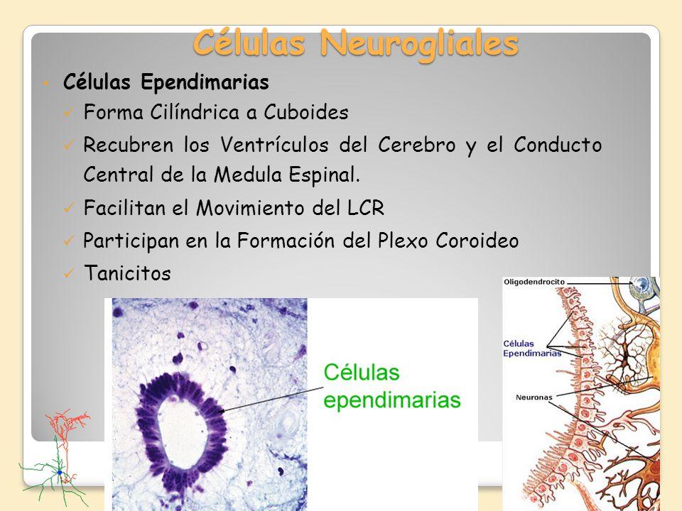 Células Neurogliales Células Ependimarias Forma Cilíndrica a Cuboides