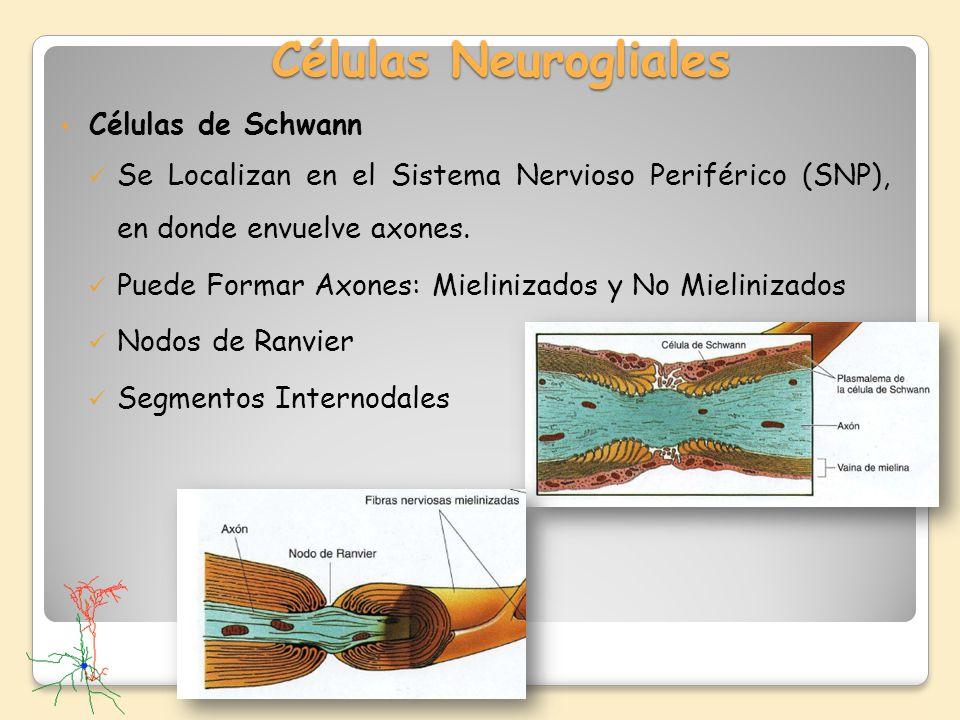 Células Neurogliales Células de Schwann