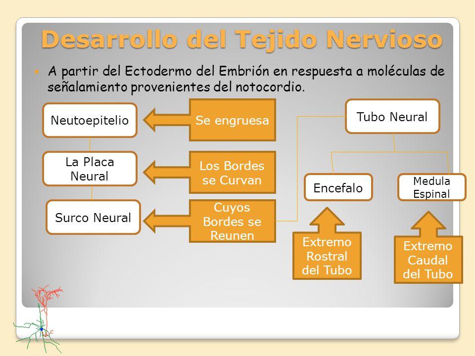 Desarrollo del Tejido Nervioso