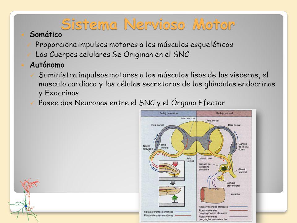 Sistema Nervioso Motor