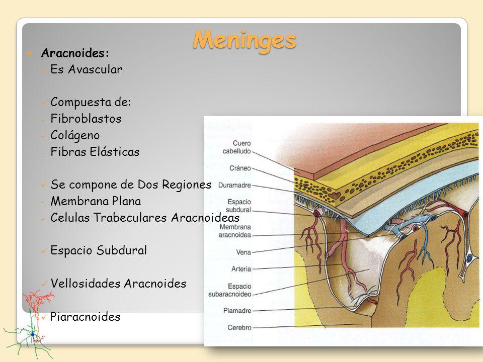 Meninges Aracnoides: Es Avascular Compuesta de: Fibroblastos Colágeno
