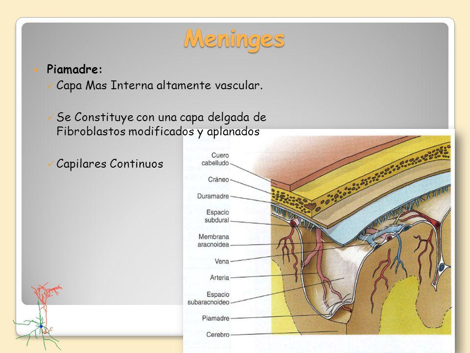 Meninges Piamadre: Capa Mas Interna altamente vascular.