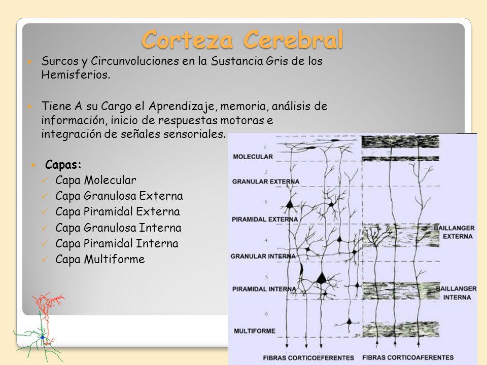 Corteza Cerebral Surcos y Circunvoluciones en la Sustancia Gris de los Hemisferios.