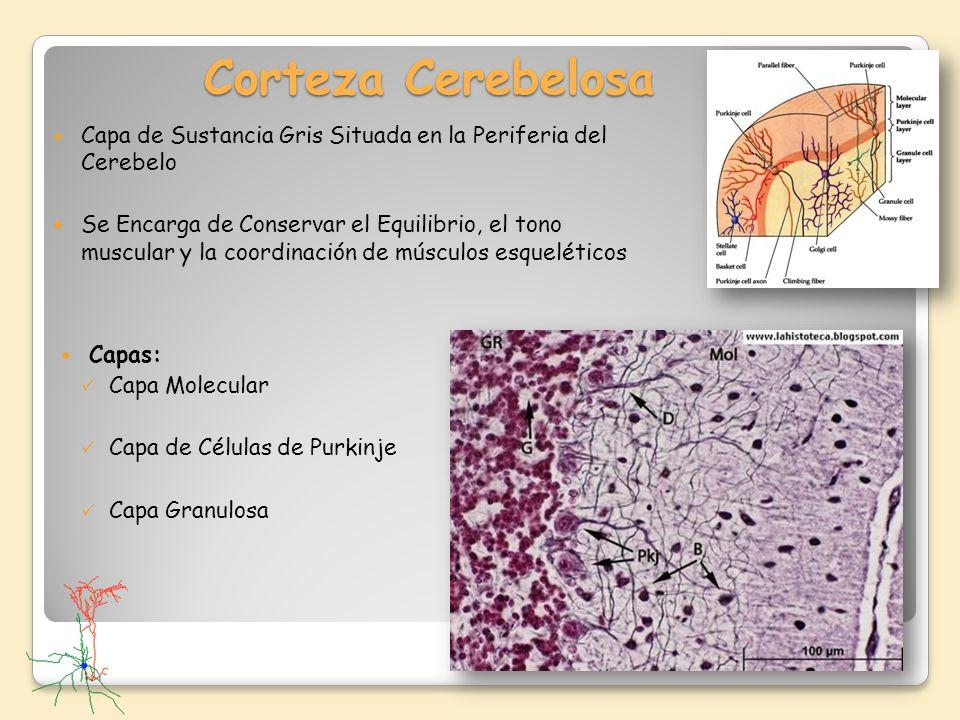 Corteza Cerebelosa Capa de Sustancia Gris Situada en la Periferia del Cerebelo.