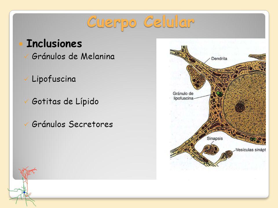 Cuerpo Celular Inclusiones Gránulos de Melanina Lipofuscina