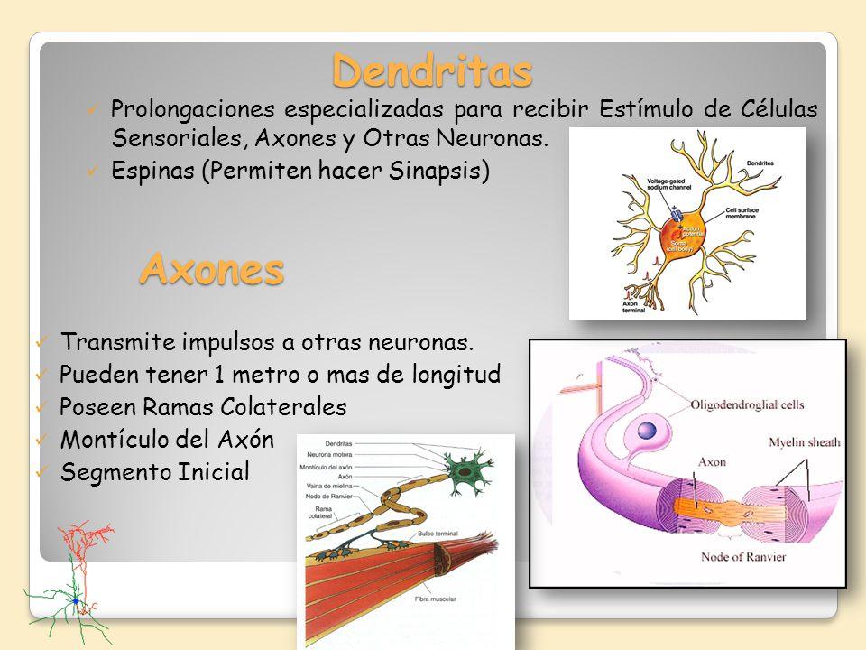 Dendritas Prolongaciones especializadas para recibir Estímulo de Células Sensoriales, Axones y Otras Neuronas.