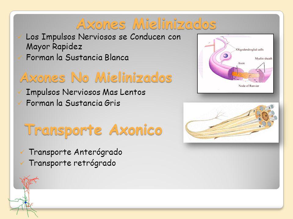 Axones No Mielinizados