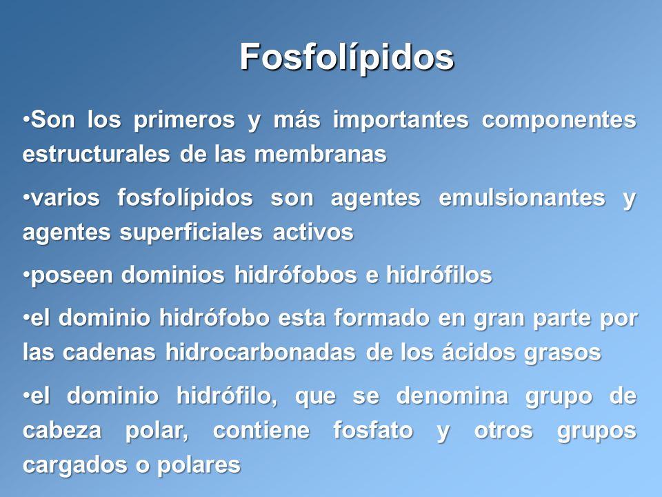 Fosfolípidos Son los primeros y más importantes componentes estructurales de las membranas.