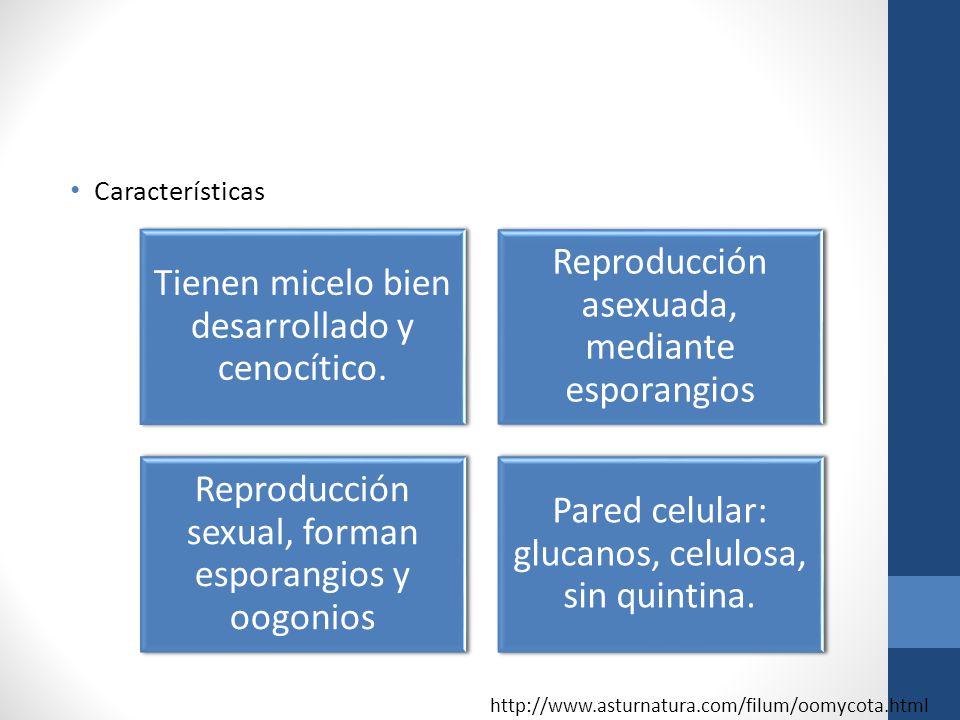 Características http://www.asturnatura.com/filum/oomycota.html