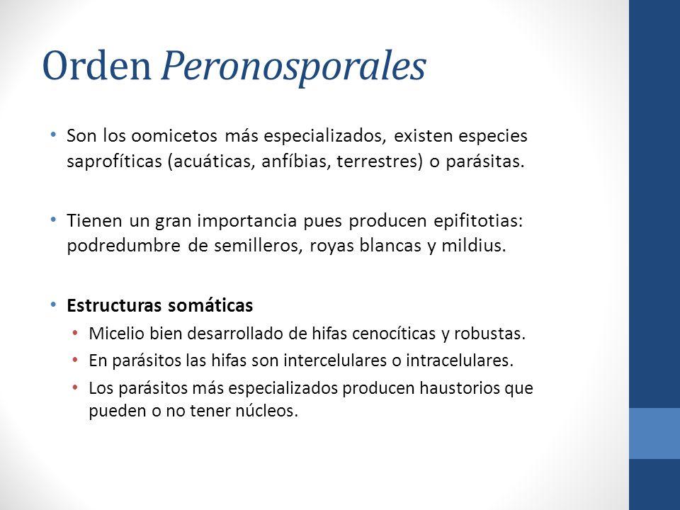 Orden Peronosporales Son los oomicetos más especializados, existen especies saprofíticas (acuáticas, anfíbias, terrestres) o parásitas.