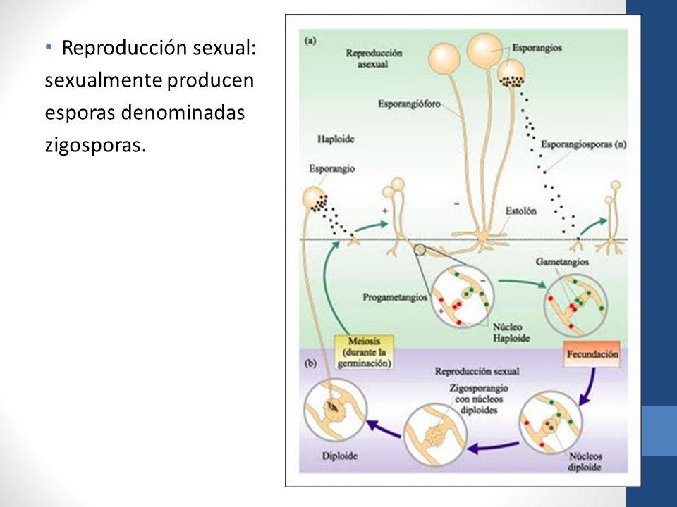 Reproducción sexual: sexualmente producen esporas denominadas zigosporas.