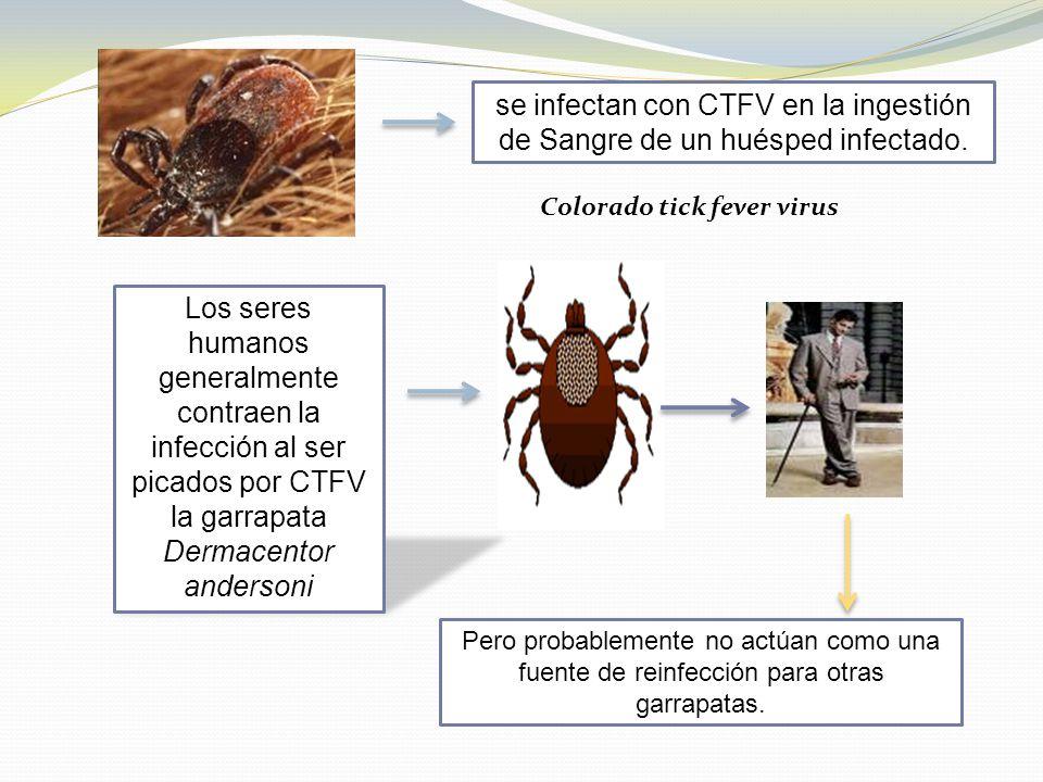se infectan con CTFV en la ingestión de Sangre de un huésped infectado.
