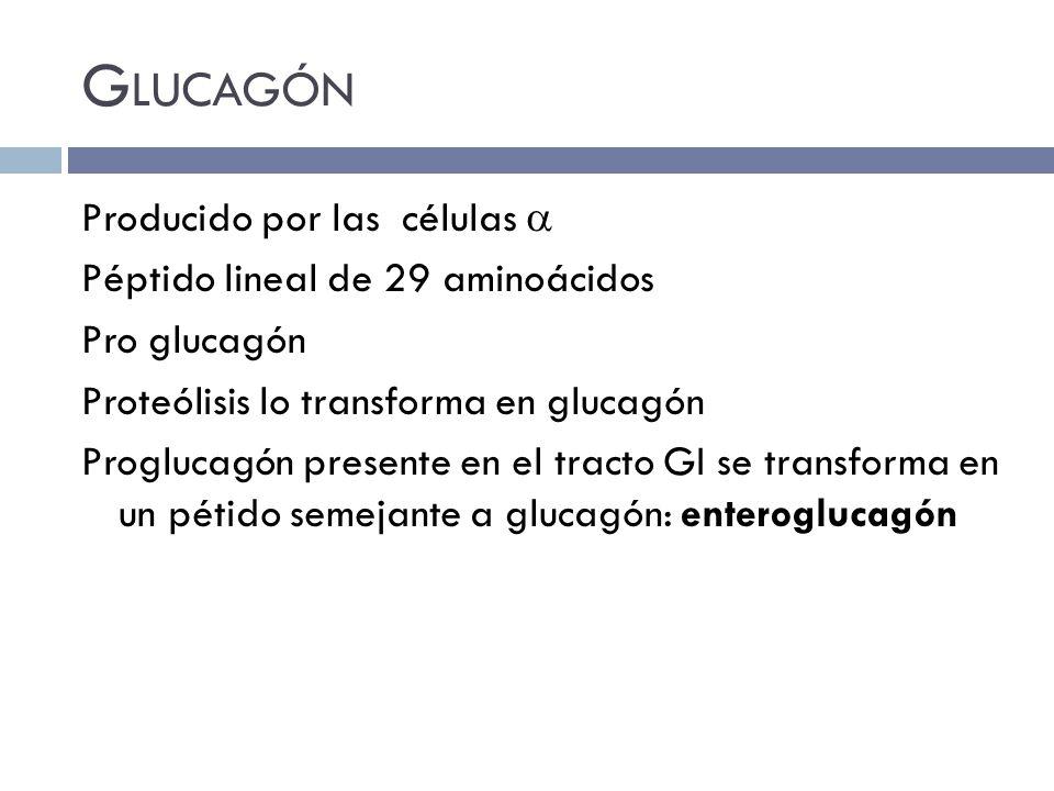 Glucagón Producido por las células  Péptido lineal de 29 aminoácidos