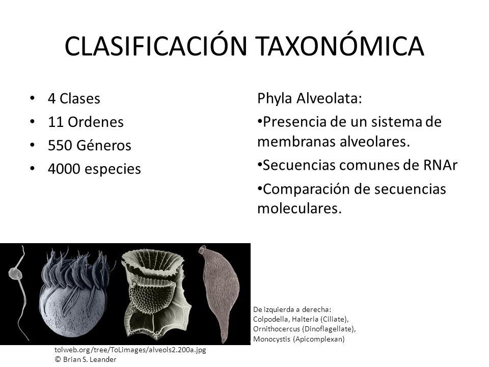 CLASIFICACIÓN TAXONÓMICA