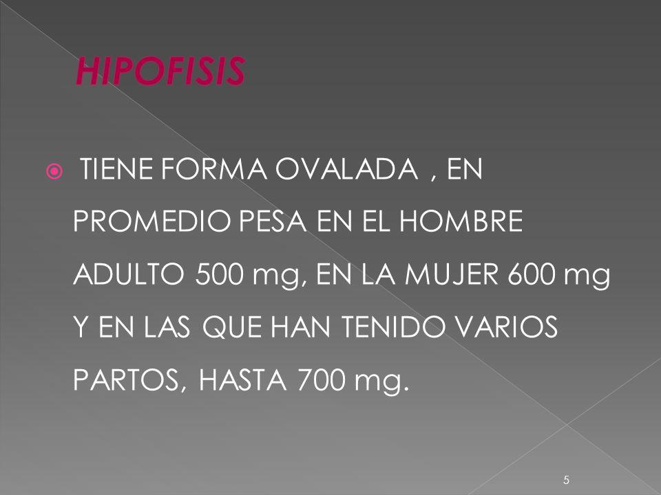 HIPOFISIS TIENE FORMA OVALADA , EN PROMEDIO PESA EN EL HOMBRE ADULTO 500 mg, EN LA MUJER 600 mg Y EN LAS QUE HAN TENIDO VARIOS PARTOS, HASTA 700 mg.