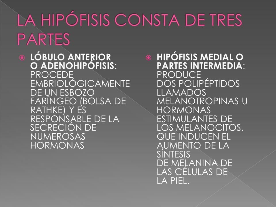 LA HIPÓFISIS CONSTA DE TRES PARTES