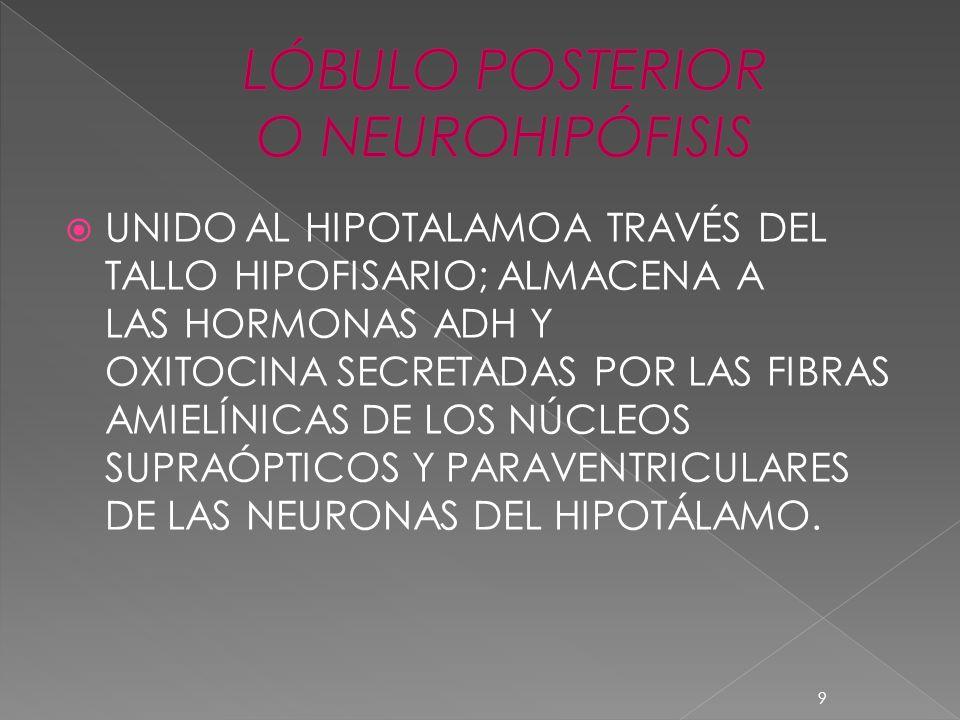 LÓBULO POSTERIOR O NEUROHIPÓFISIS
