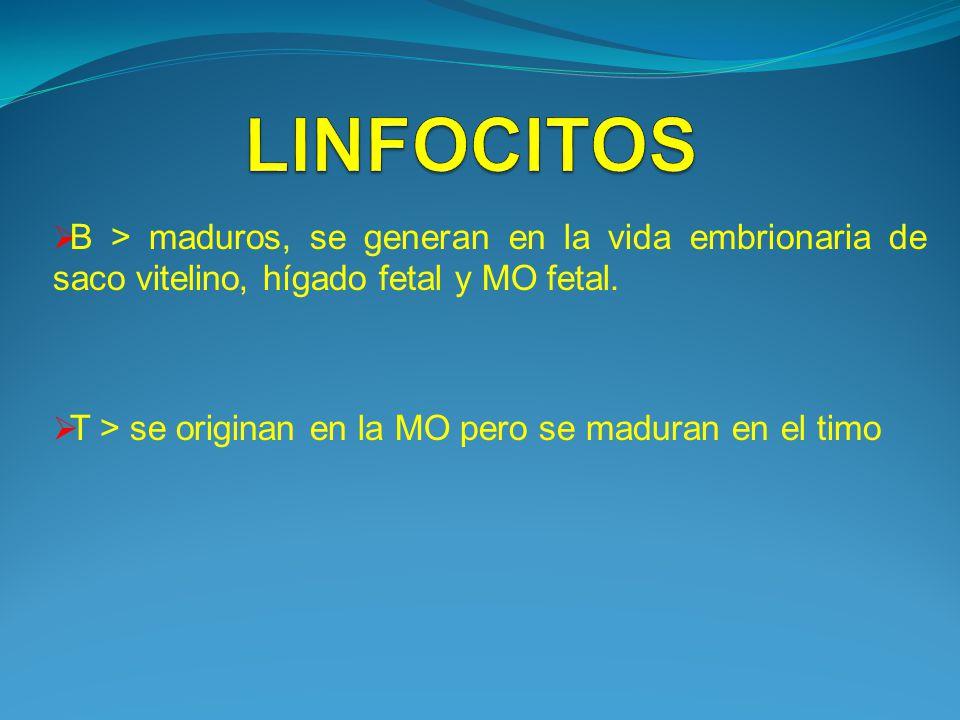 LINFOCITOS B > maduros, se generan en la vida embrionaria de saco vitelino, hígado fetal y MO fetal.
